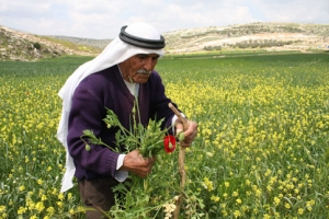 A Palestinian man collects flowers at a field in a West Bank